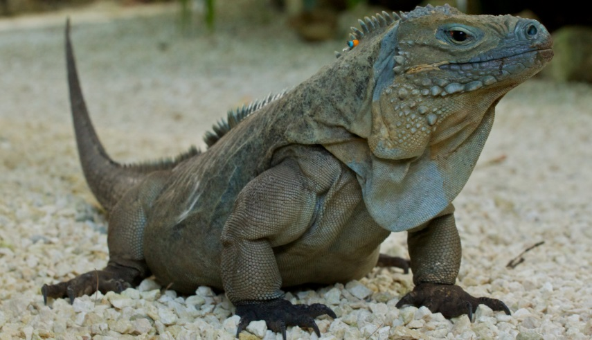 Watch out for iguanas!